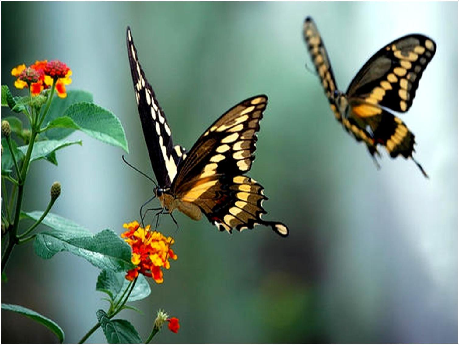 Fotos de borboletas lindas e maravilhosas