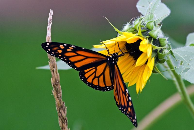 Fotos de borboletas (10)